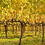 Beautiful Vineyard in Napa Valley — Stock Photo #11035876