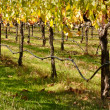 Beautiful Vineyard in Napa Valley — Stock Photo #11035885