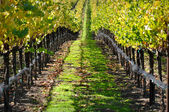 Autumn Vineyard in Napa Valley — Stock Photo