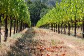 Beautiful Vineyard in Summer — Stock Photo