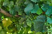 Green Grapes Close Up — Stock Photo