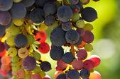 Multi kleur druiven op de wijnstok — Stockfoto