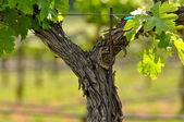 春季纳帕山谷的葡萄树特写 — 图库照片