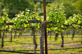 春にナパ バレーのブドウツル クローズ アップ — ストック写真