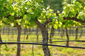 Grape Vineyard in Spring — Stock Photo