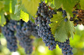 Red Grapes on the Vine in Napa Valley California — Stock Photo
