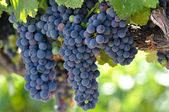 Red Grapes on the Vine in Napa Valley — Stock Photo