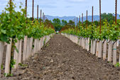 Rows of Young Grape Vines — Stock Photo