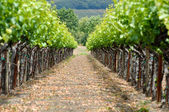 Spring Vineyard in Napa Valley California — Stock Photo