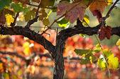 Hojas de uva de viña hermosa napa valley — Foto de Stock