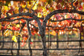 Red Wine Vine — Stock Photo