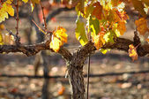 Close Up of Red Wine Vine — Stock Photo