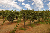 Vineyard Blue Sky — Stock Photo