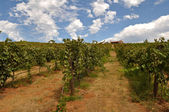 Vineyard Blue Sky — Stock Photo