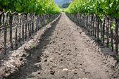 Napa Valley Grape Vineyard in Spring — Stock Photo