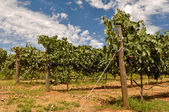 Vineyard with Blue Sky and Clouds — Stock Photo