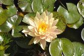 Lotus Flower on Lily Pad — Stock Photo