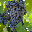 Red Grapes on Vine — Stock Photo #11061099