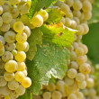 Chardonnay Grapes Close Up - Stock Photo