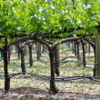 Grapevine in Spring — Stockfoto