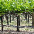 Grapevine in Spring — Stock Photo #11065977