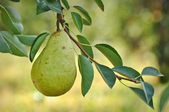 Pear on a Tree — Stok fotoğraf