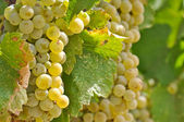 Chardonnay Grapes Close Up — Стоковое фото