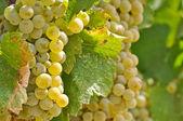 Chardonnay-trauben, nahaufnahme — Stockfoto