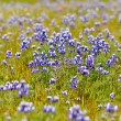 Texas Blue Bonnet — Stock Photo #11080273