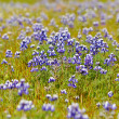 Texas Blue Bonnet — Stock Photo