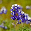 Stock Photo: Texas Blue Bonnet