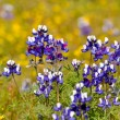 Texas Blue Bonnet — Stock Photo #11080278