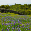 Meadow with Texas Blue Bonnet Flowers — Stock Photo
