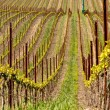 Vineyard in Spring - Stock Photo