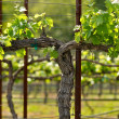 Napa Grape Vineyard in Spring - Stock Photo