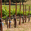 Wine Vineyard in the Summer - Stock Photo