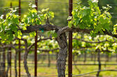 Napa Grape Vineyard in Spring — Stockfoto