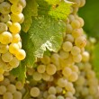 Stock Photo: Chardonnay Grapes Close Up