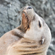 Sea Lion with Eyes Closed — Stock Photo