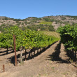 NapValley Vineyard — Stockfoto #11117955