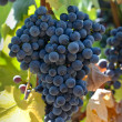 Red Wine Grapes on Vine — Stock Photo #11118007