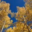 Aspen Trees — Stock Photo