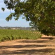 California Vineyard — Foto Stock