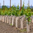 Stock Photo: Grapes Vines being Planted