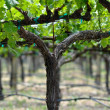 Stock Photo: Grapevine in Spring