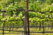 Vineyard in the Spring — Stock Photo