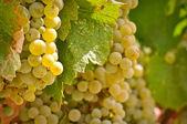 Chardonnay Grapes Close Up — Stock Photo