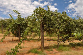 Vineyard in California with Blue Sky and Grapes on the Vine — Stock Photo