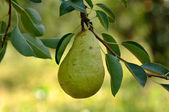 Pear hanging from Tree — Stok fotoğraf