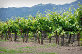 Rows of Grape Vines in Napa Valley California — Stock Photo